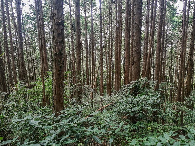 笠間市側杉林